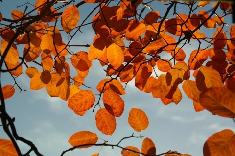 Amber Colored Autumn Leaves With Blue Sky