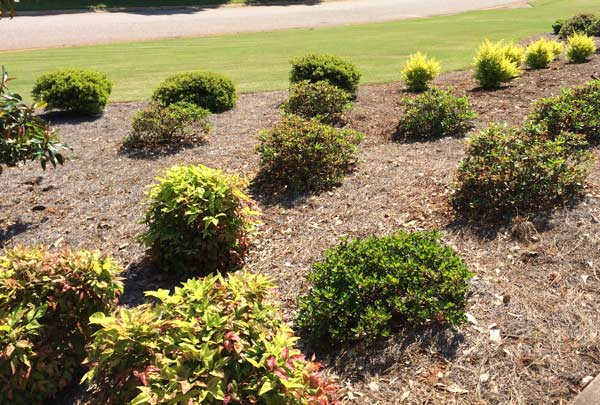 Green Shrubs In Large Mulched Garden Bed In Front Of A Nicely Manicured Lawn